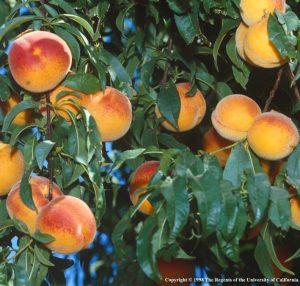 Fruit Tree class