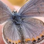 Butterfly class Pepperwood